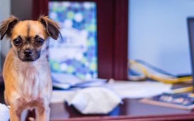 Drei gute Gründe für einen Bürohund
